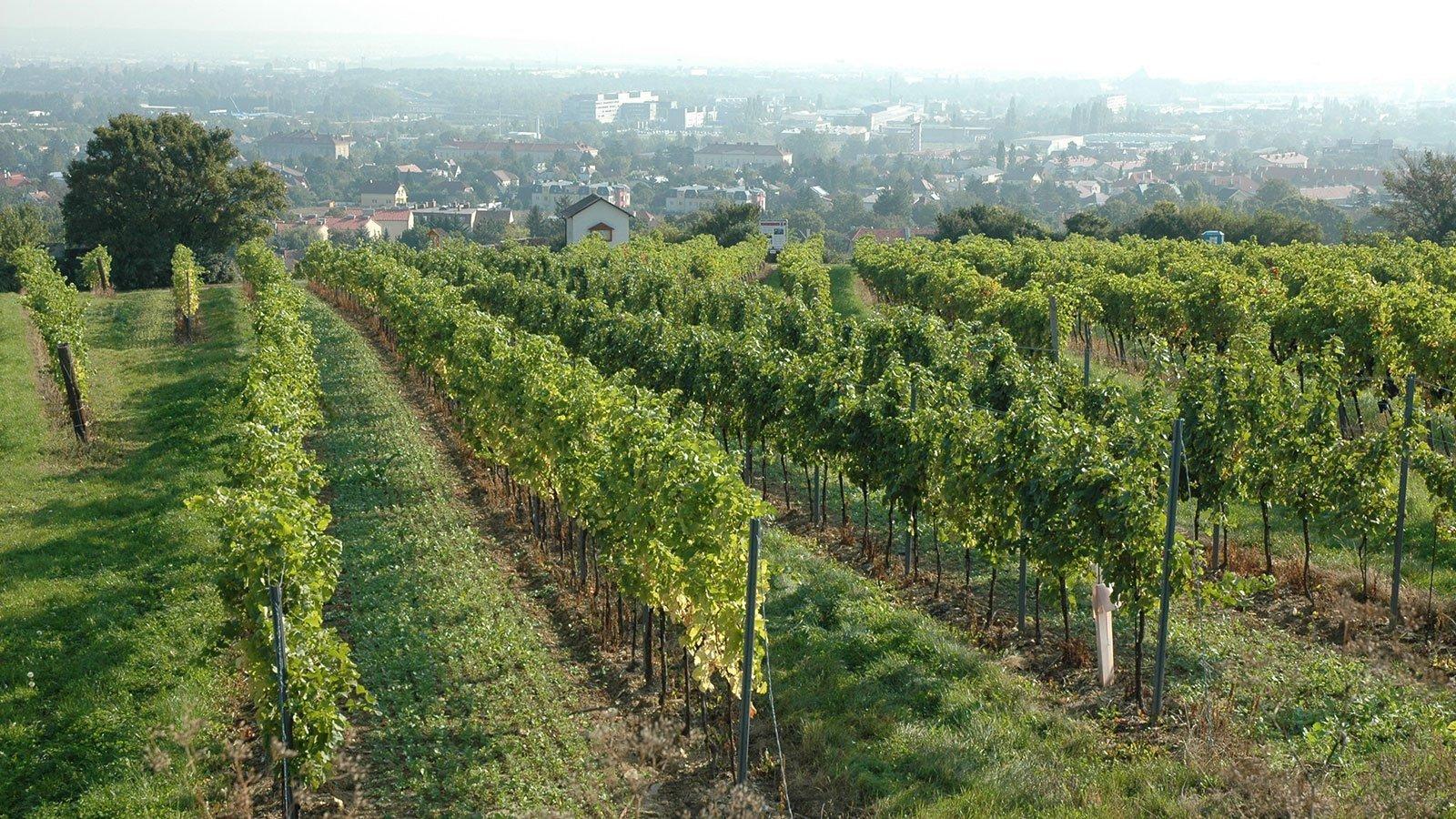 Geschichte-des-Weinbaus